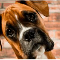 Στομαχικές διαταραχές σε σκύλους-πληροφορίες για τη Γαστρίτιδα
