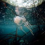 box jellyfish sting facts