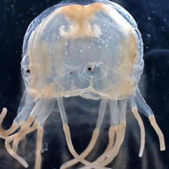do box jellyfish have brains