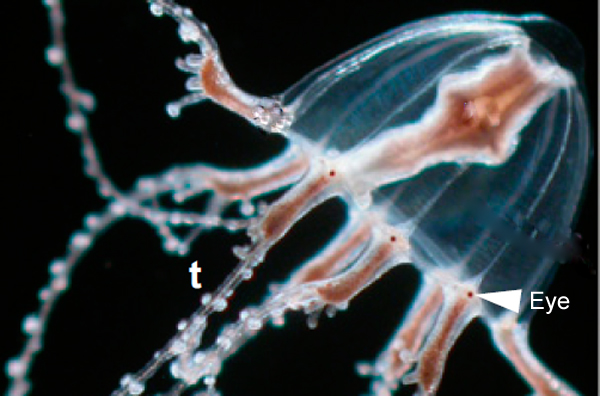 do box jellyfish eyes