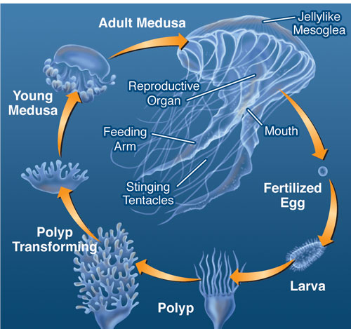 How do jellyfish reproduce asexually