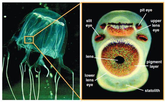 How many Eyes do Box Jellyfish have
