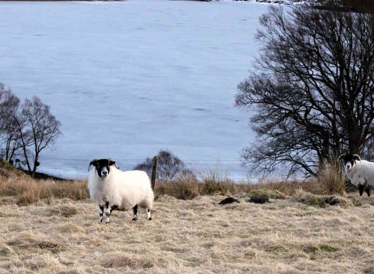 Locally reared lamb