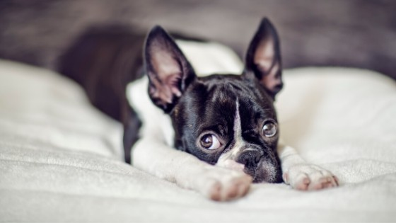 บอสตัน เทอร์เรีย (Boston Terrier)
