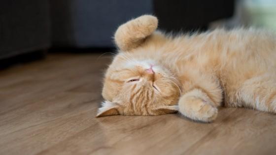 รวมมิตรยอดฮิต แมวขนสั้น ที่คนไทยชอบเลี้ยง