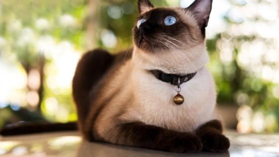 แมวสยามมีส (Siamese cat) หรือแมววิเชียรมาศ