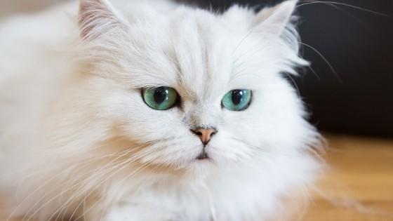 วิธีการเลี้ยงแมวเปอร์เซียเบื้องต้น กับสิ่งที่เจ้าของควรรู้