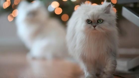 การแบ่งสายพันธุ์แมวเปอร์เซีย จะถูกแบ่งออกตามสีซึ่งจะมีทั้งหมดเป็น 7 สี ดังนี้: Solid Color