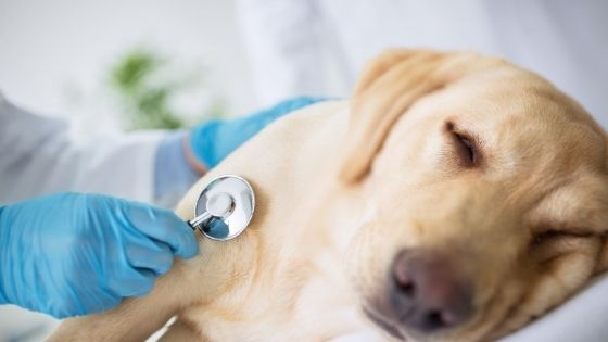 วิธีรักษามดลูกอักเสบในสุนัข