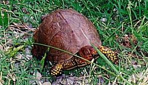 A Male Eastern Box Turtle has more colorful legs