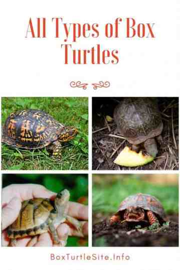 An overview of all species of box turtles. Eastern, Ornate, Florida, Asian, Mexican, Coahilan box turtle and more species. All types of box turtles in an overview