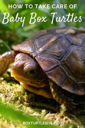 Baby box turtle care guide. How to raise a baby box turtle - the best food and housing for baby box turtles.