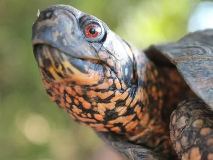 Eastern box turtle face