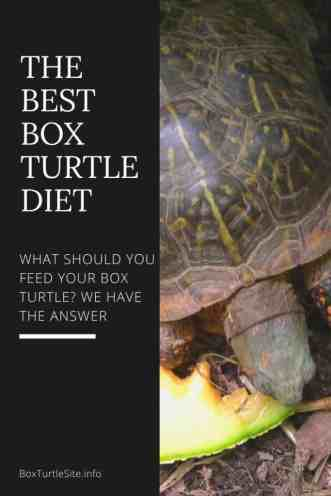 The ideal box turtle food guide. What does a box turtle eat - here you will learn everything you need to know about the box turtle diet. A box turtle food list with vitamins and more