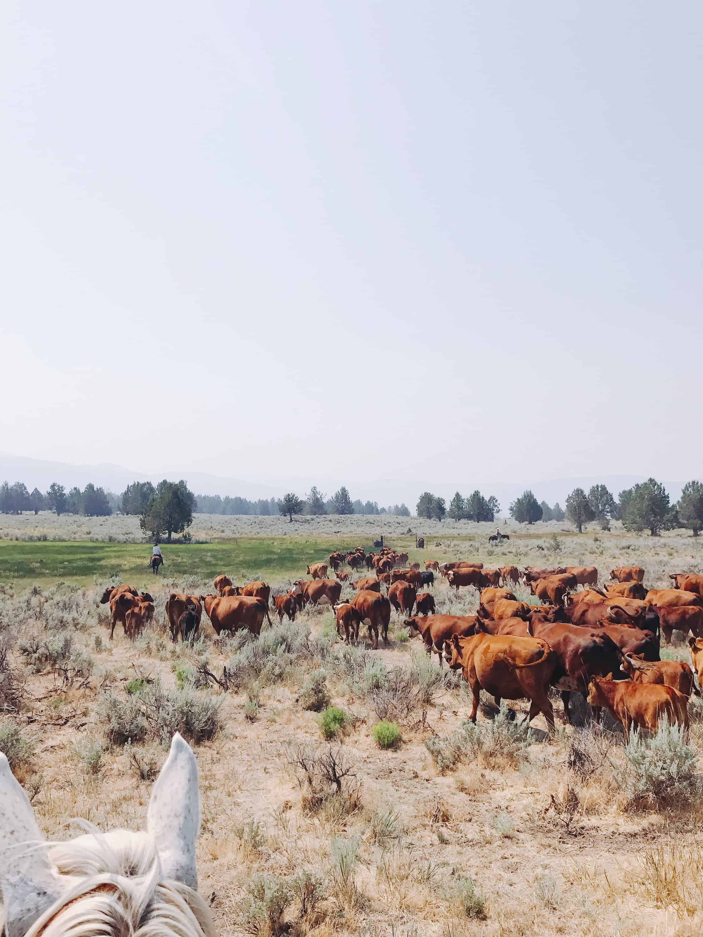 """This Week on the Ranch"" is a weekly series sharing snippets and stories from life on the range.  Summertime is spent mostly on horseback moving cattle & horses from field to field. I get a ton of questions asking why we move the animals around so much. The answer is simple: once they eat the grass down, they have to be moved to a new field. That whole grass-fed thing, ya know?"