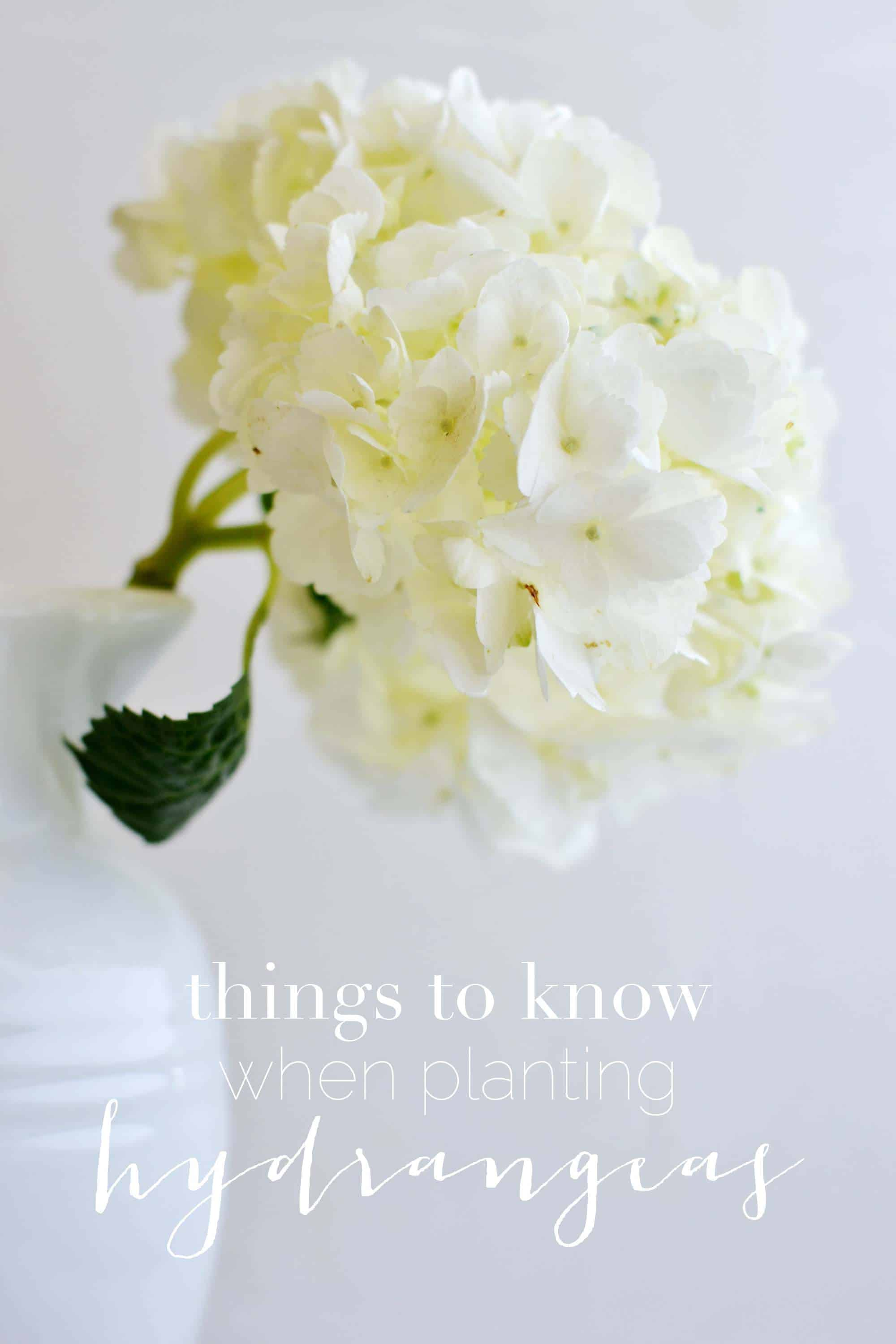 Things to Know When Planting Hydrangeas | Boxwood Avenue #hydrangeas #plantinghydrangeas