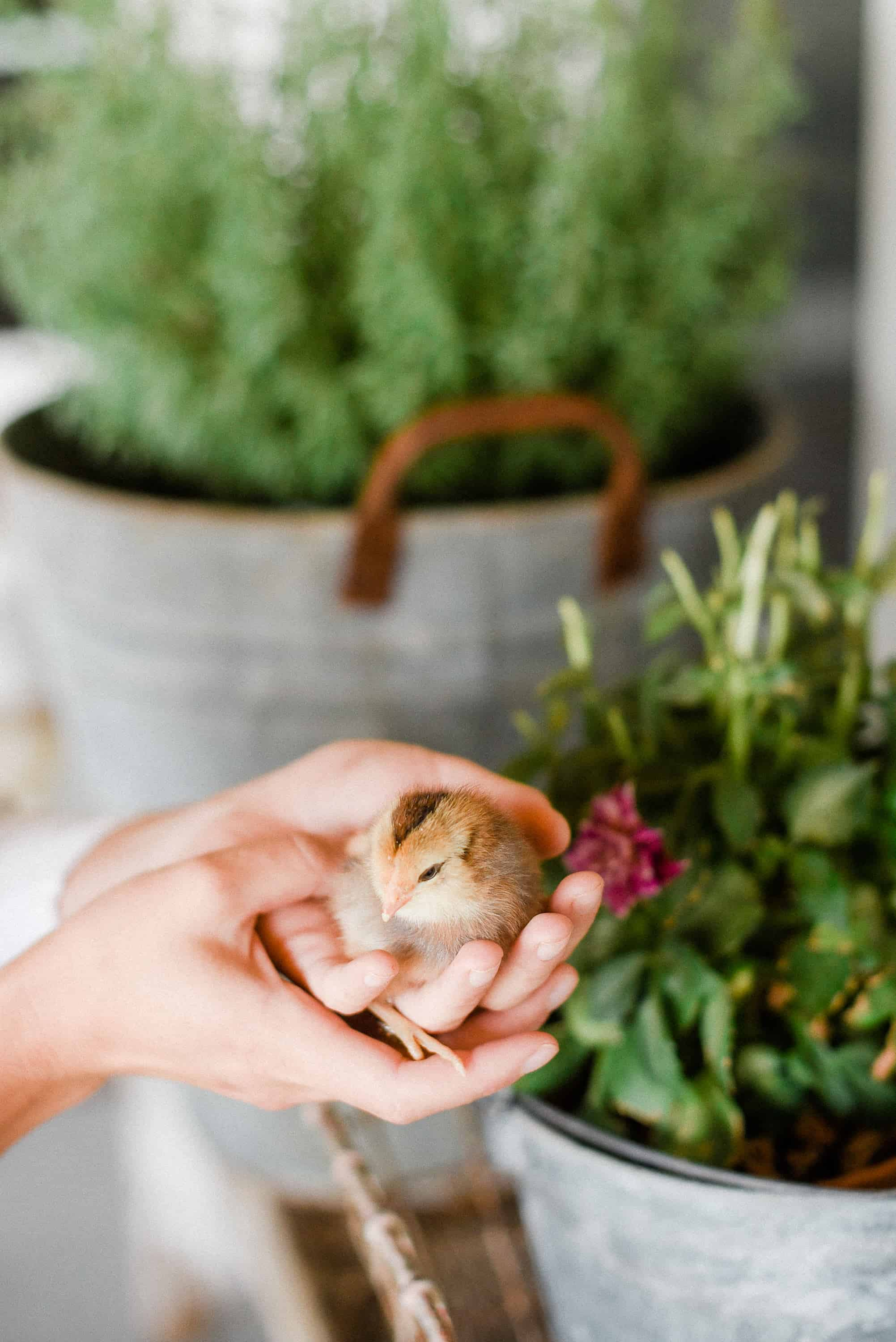 If you plan on raising backyard chickens, chances are, you'll start with chicks. Here is everything you need to know to begin your backyard chicken journey – starting with raising chicks!