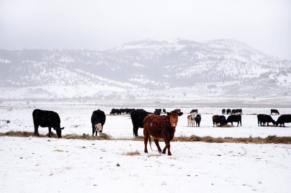 Cows in snowy field on ranch