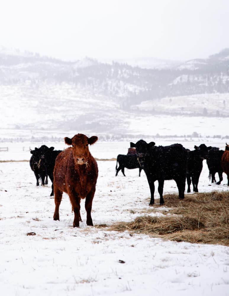 Cows in Field with snow on Ranch