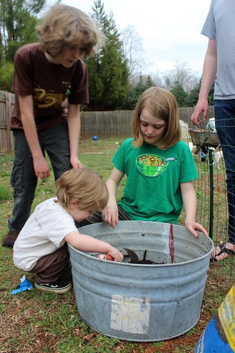planting potatoes in a washtub