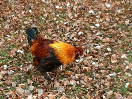 Gingerbread the Rooster in Peterson Park