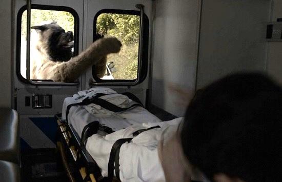 dogman 2 ambulance dog