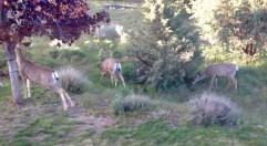 Mule Deer, 3 Does