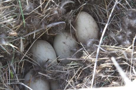 Mallard duck nest and eggs