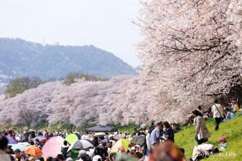 京都賞櫻景點背割堤|櫻花隧道下跟日本人一起野餐