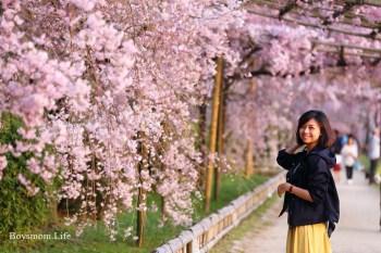 京都半木之道粉色瀑布|靜謐的賞櫻桃花源