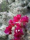 Bougainvillea amid the seeding flowers of coyote bush.