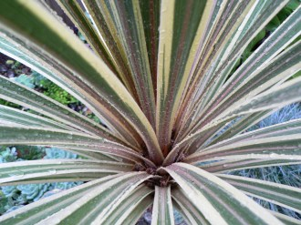 Looking down into Cordyline australis 'Torbay Dazzler'.