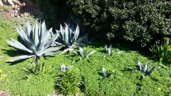 Beautiful! Agaves on the side of the West Lawn.