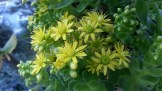 Flowers on an Aeonium on Noe.