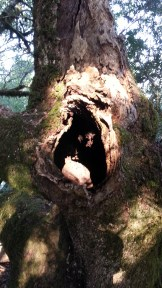 Funky hollow tree on the Old Mine Trail. Perhaps Spur Trail, actually.