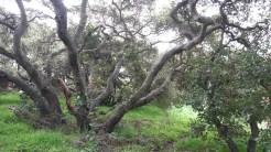 Some beautiful gnarled oaks.