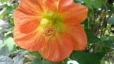 Beautiful peachy-orange abutilon flowers.