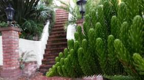 A Norfolk Island pine on 22nd St.