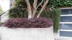 Loropetalum as a trimmed border around a tree.