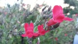 Another red salvia, at Kite Hill.