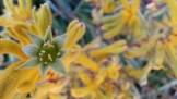 Yellow fuzzy kangaroo paw.