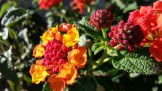 Another lantana, in hot colors.