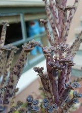 """Mother of Millions, they call this. Kalanchoe tubiflora. Each of those tiny """"leaves"""" is actually a baby plant, growing it roots out into the air and waiting to land on soil."""