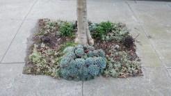 Tolerance: Echeveria imbricata is especially durable.