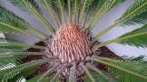 A cycad on Grand View Terrace.