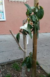 """This Michelia (""""dwarf magnolia"""") is giving a good fight! Poor thing's been so brutalized."""