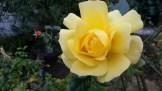 Yep. Roses. In January.