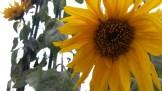 Sunflowers on Clayton above Corbett.