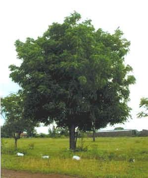 Árvore - Nim