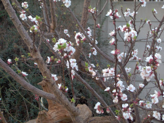Appelkoosboom met bloeisels